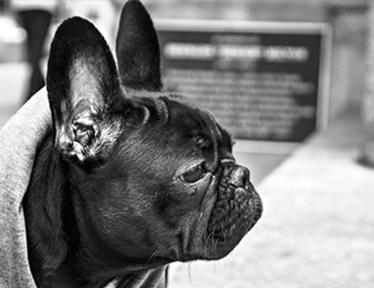 Photo de Benzi le Bulldog Francais sur soigneur-animalier-fr
