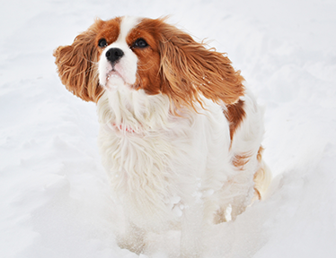 Photo cavalier King Charles sur soigneur-animalier.fr
